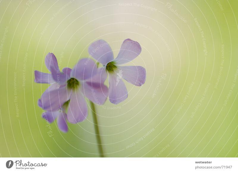 soft pink blossom Natur Blume grün blau Blüte Frühling rosa frisch weich zart zerbrechlich Klee Pastellton Zimmerpflanze