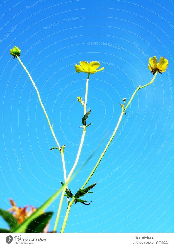 butterblume Wiese Sommer Blume Blüte grün Himmel Löwenzahn Natur blau Schönes Wetter Außenaufnahme