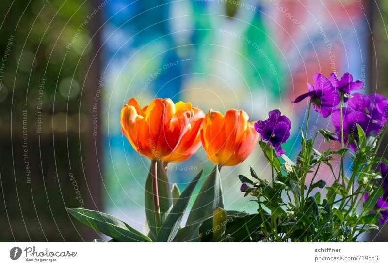 Tarnung ist das halbe Leben... Pflanze Sonnenlicht Schönes Wetter Blume Tulpe Blatt Blüte Topfpflanze Garten Park gelb violett orange rot Frühlingsgefühle