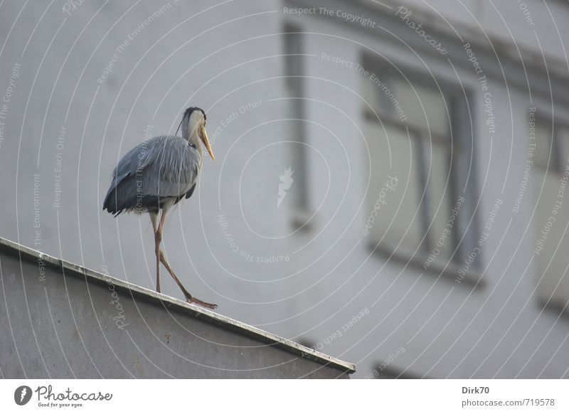 Reiher auf dem Dach Stadt weiß Einsamkeit Haus Tier schwarz gelb Fenster Umwelt Gebäude grau gehen Vogel Fassade Wildtier