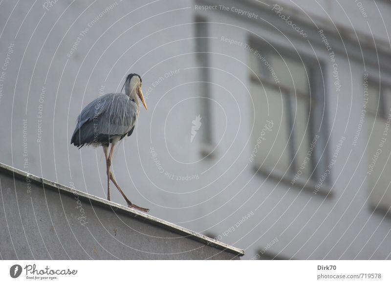 Reiher auf dem Dach Umwelt Istanbul Türkei Stadtzentrum Haus Gebäude Fassade Fenster Tier Wildtier Vogel Graureiher Rückansicht 1 gehen dünn gelb grau schwarz