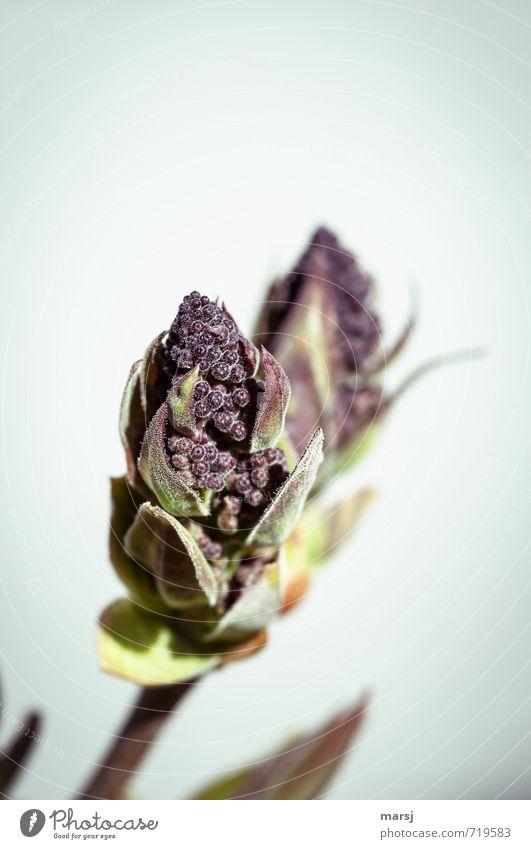 Schon bald Pflanze schön Blatt Blüte Frühling natürlich klein Wachstum authentisch Sträucher einfach geheimnisvoll dünn Blütenknospen Kugel Geborgenheit