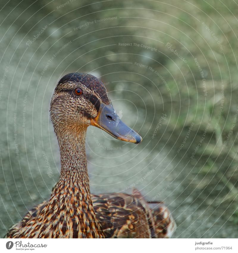 Stockente Vogel Feder braun Muster Ente Hals Auge Blick Flügel sanft