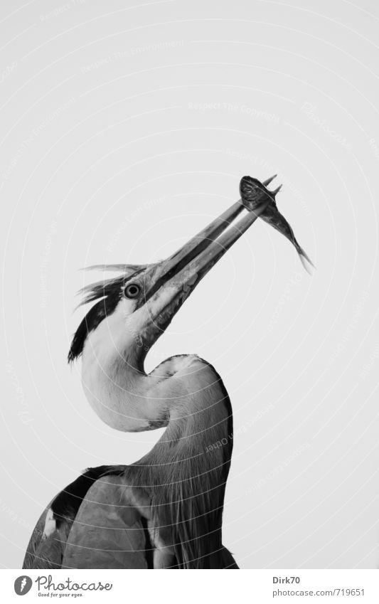 Fressen und gefressen werden Natur Tier natürlich Lebensmittel Vogel Wildtier stehen ästhetisch einfach Fisch Appetit & Hunger lecker fangen Jagd deutlich