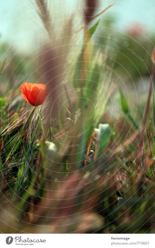 coquelicot Umwelt Natur Pflanze Blume Gras Blüte Garten Park Wiese Menschenleer schön blau braun grün rot Mohn Mohnblüte Mohnfeld mittig unscharf verstecken