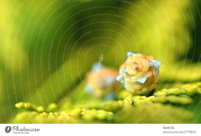 farbenfrohe Zapfen vom Lebensbaum mit grüngelbem Hintergrund Makroaufnahme klein winzig mehrfarbig Natur Zweig Schwache Tiefenschärfe 2 Paar paarweise Pärchen
