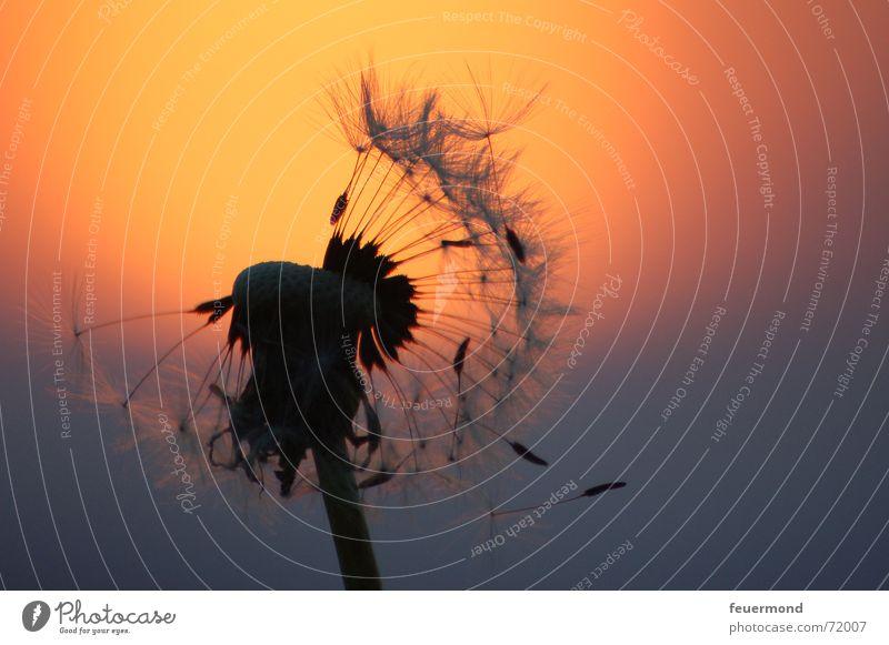 Pusteblumenromantik Löwenzahn Blume Blüte Sonnenuntergang Romantik Kitsch Schatten Abend