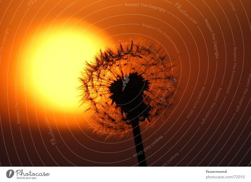und nochmal Kitsch :) Löwenzahn Sonnenuntergang Nacht Romantik Vergänglichkeit Schatten sunrise Abend