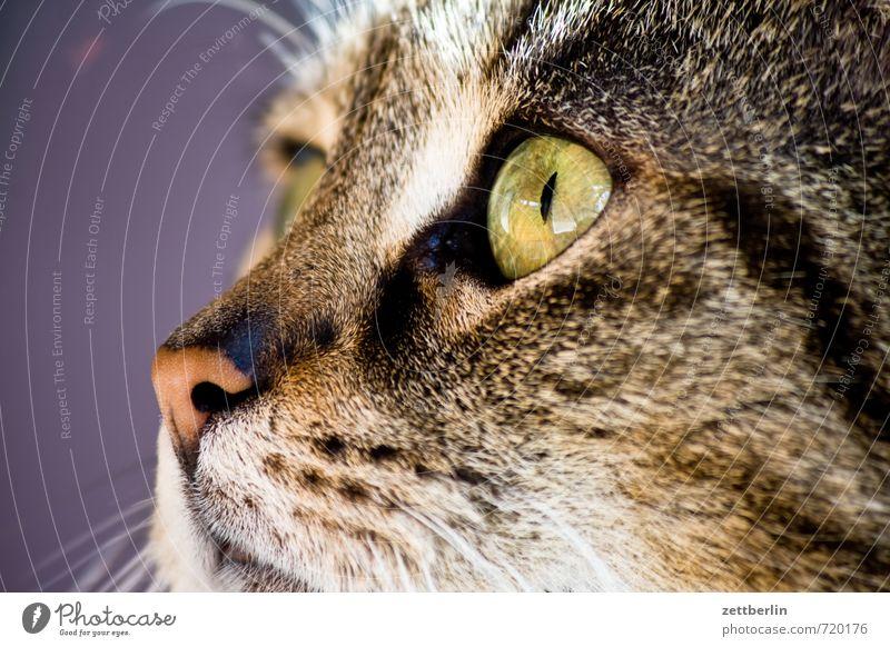 Mini Katze Tier Auge Haare & Frisuren Streifen Nase Neugier Wachsamkeit Jagd Interesse gestreift Allergie Landraubtier Katzenauge Katzenkopf seitwärts