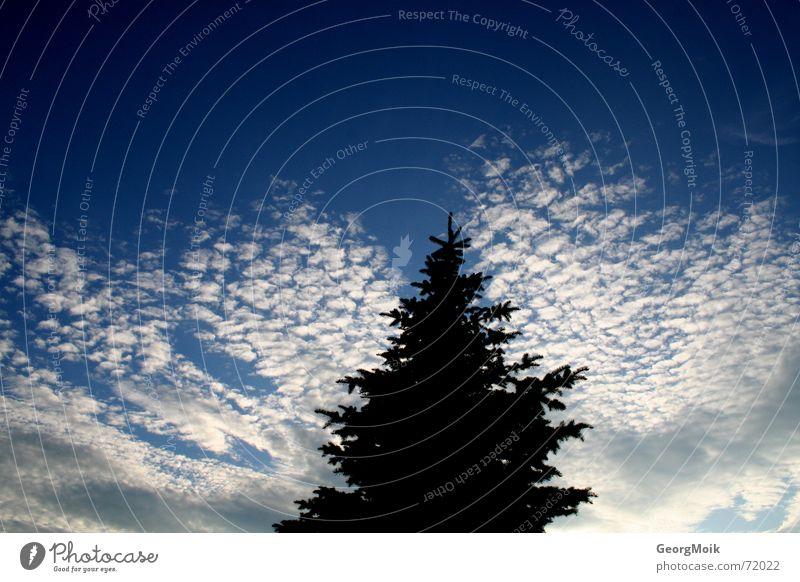 Invasion of Cirrocumulus Himmel Wolken Altokumulus floccus weiß schwarz Tanne Weihnachtsbaum Fichte Silhouette sky clouds kleine schäfchenwolken blau blue white