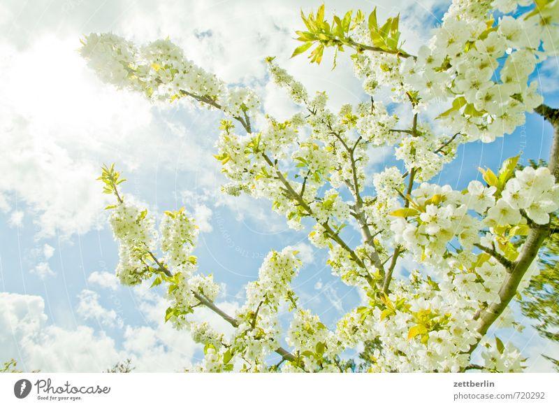 Blühen Frühling Landschaft Park Umwelt Natur Klima Wetter Schönes Wetter Himmel Wolken Baum Blüte Blatt Nutzpflanze Garten Umweltschutz Farbfoto Außenaufnahme