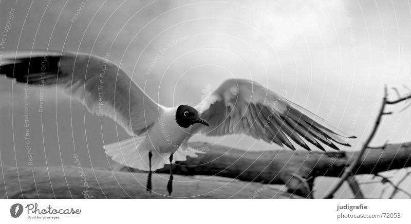 Möwe See Vogel Wolken schwarz Sommer Baum Holz Strand Meer Ferien & Urlaub & Reisen Feder Schnabel Fischland Weststrand Lachmöwe Schwarzweißfoto schwimmhäute