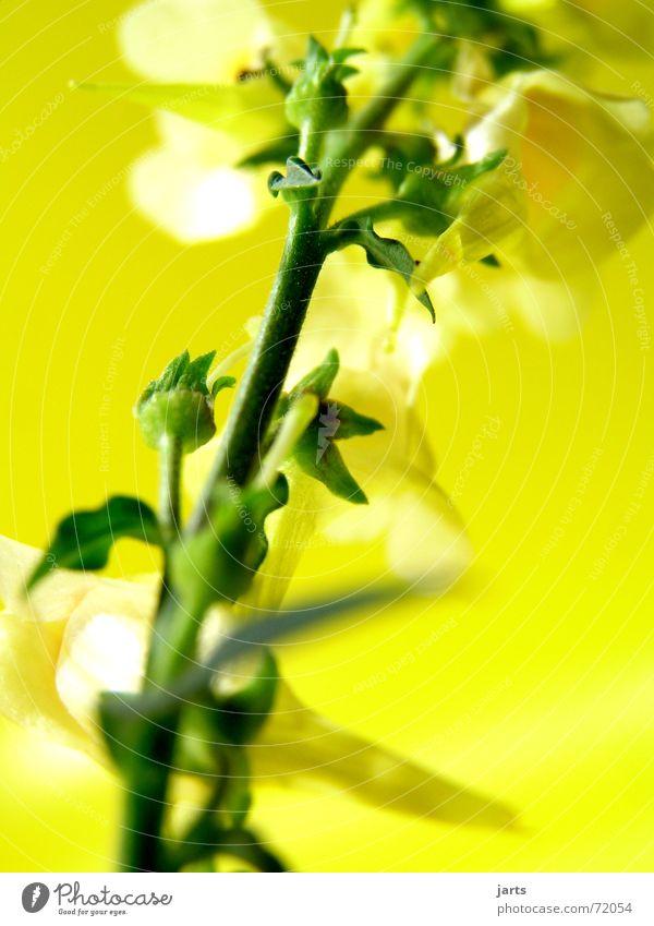 Bild ohne Namen Blume Blüte gelb grün bätter Natur jarts