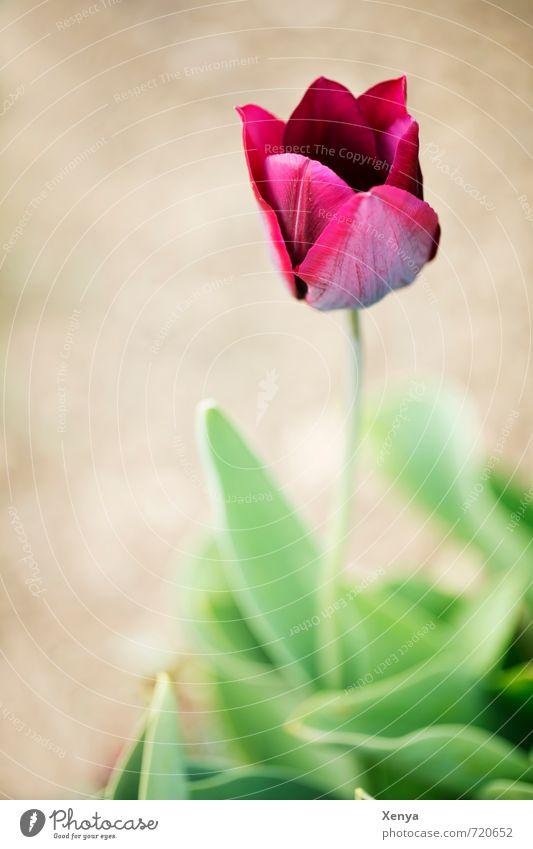 Tulpig Umwelt Natur Pflanze Blume Tulpe Blatt Blüte Blühend ästhetisch braun grün rot Frühling Frühlingsblume besinnlich Tulpenblüte Außenaufnahme Menschenleer