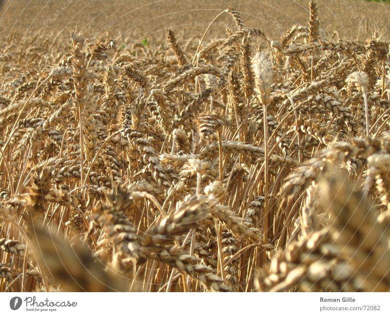 4000 Brote und ein Brötchen Feld Weizen Makroaufnahme Unendlichkeit Stroh Staub Sommer Korn Ferne Graffiti
