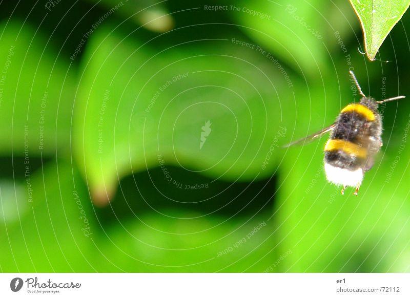 Hummel Natur grün Blatt Luft klein fliegen Flügel Insekt Fühler