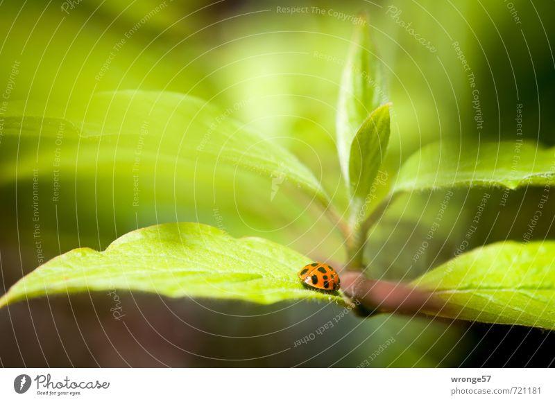 Käfers Welt grün Pflanze rot Blatt Tier schwarz Frühling klein Sträucher Wildtier Insekt nah Marienkäfer Blattgrün winzig