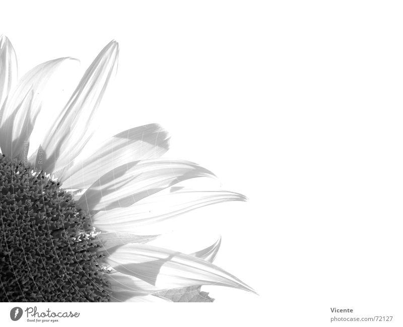 Helianthus annuus [monochrom] Sonnenblume schwarz weiß grau Monochrom Pflanze Blume Blütenblatt Schwarzweißfoto dezentral Ecke Natur