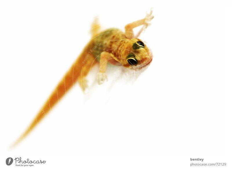 Gecko in Lauerstellung Tier klein süß beobachten grinsen krabbeln Reptil Ägypten Lurch Echsen Echte Eidechsen Salamander