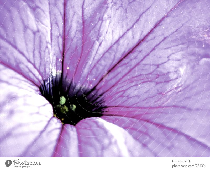 Be Gentle With Me Blüte Blume Pflanze violett zart zerbrechlich Trichter verwundbar sensibel dunkel Erholung Makroaufnahme mehrfarbig schön Sommer poetisch