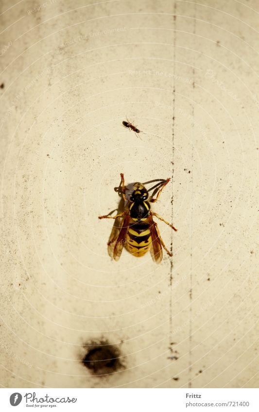 David gegen Goliath Tier Wildtier Flügel Wespen Ameise 2 beobachten sitzen frech gelb schwarz weiß gefährlich Natur weißer Zaun Farbfoto Außenaufnahme