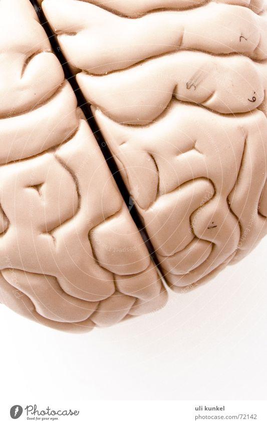 Gehirnmodell Denken Kreis Gesundheitswesen Gedanke Wissen klug Erinnerung Gehirn u. Nerven Anatomie Verständnis begreifen Logik