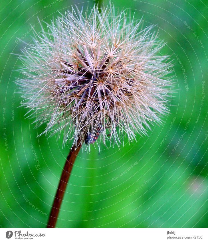 Kinderstube Natur Blume grün Pflanze Sommer Löwenzahn verblüht