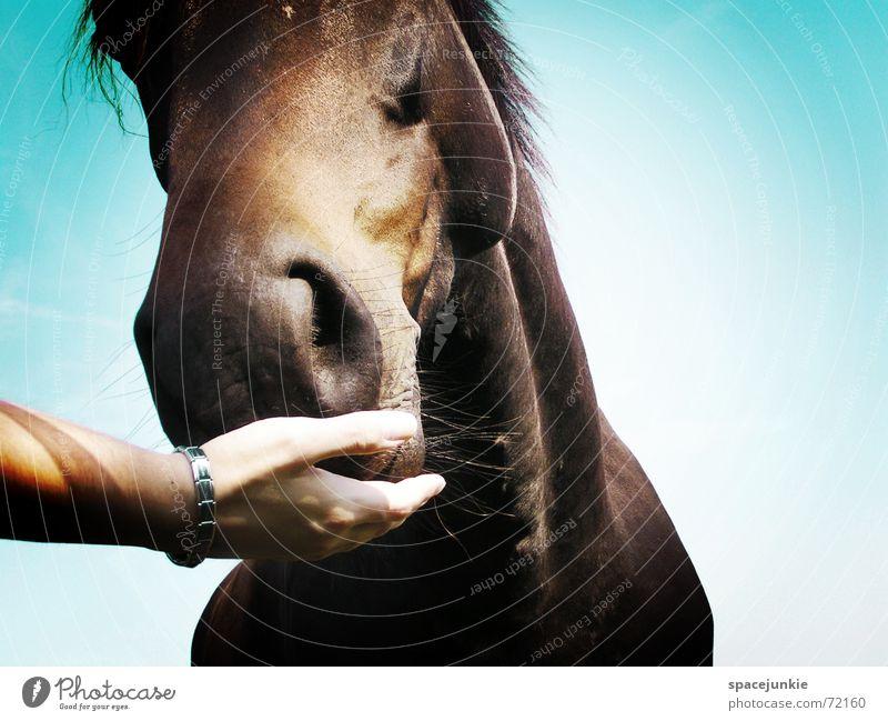Das Maul halten Pferd Tier Außenaufnahme Gras Fressen Mähne Hand horse Natur Rasen Weide festhalten Himmel blau Ernährung