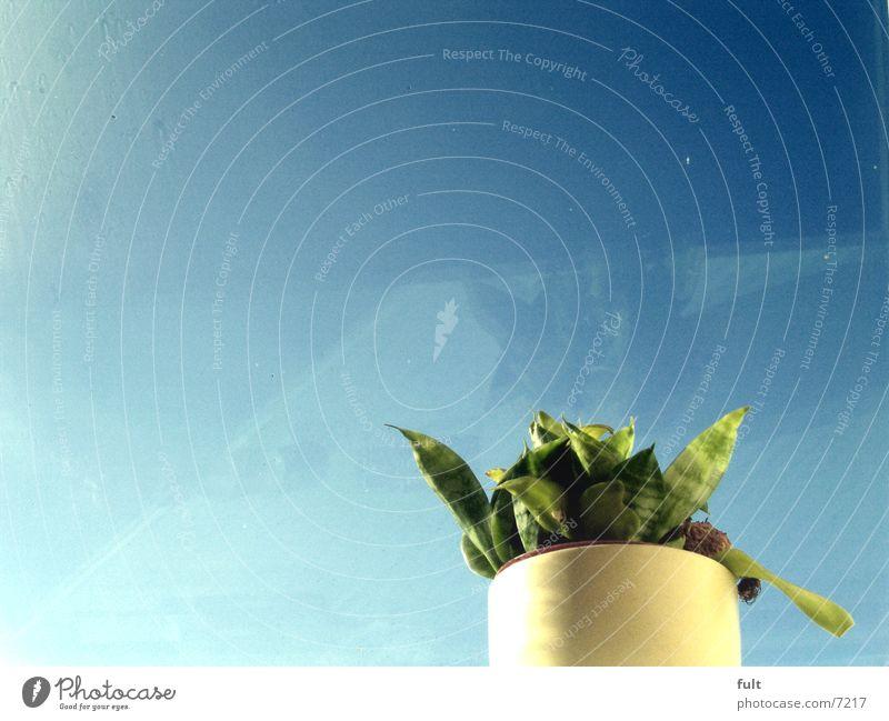 pflanze Pflanze Blatt Blumentopf Topf grün frisch stehen himmelblau weiß Himmel Natur gepflanzt separiert Einsamkeit Klarheit