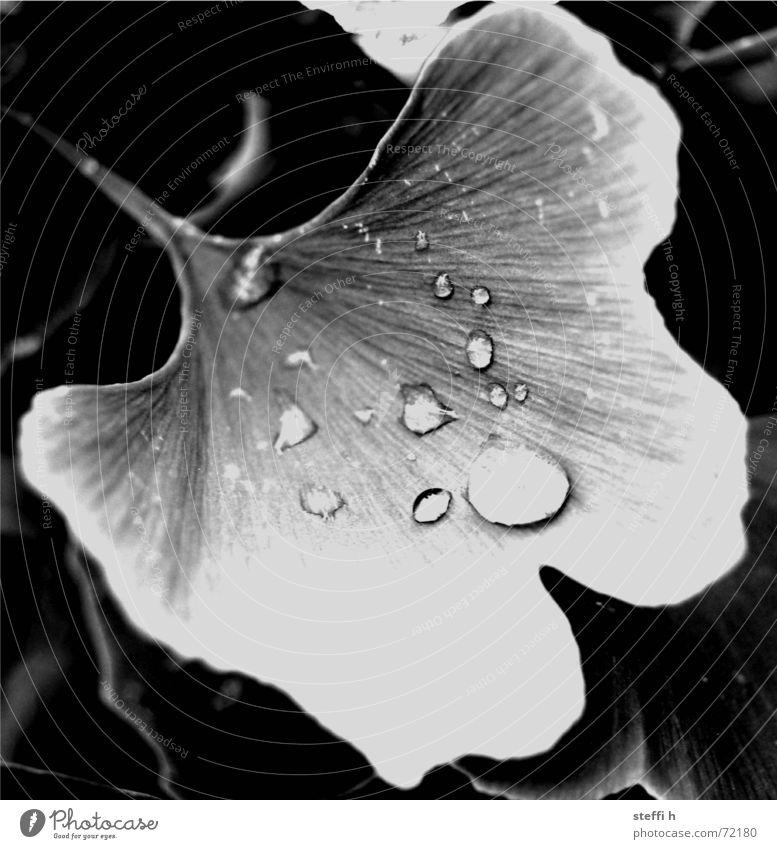 Ginko Wasser Baum Pflanze Regen Wassertropfen
