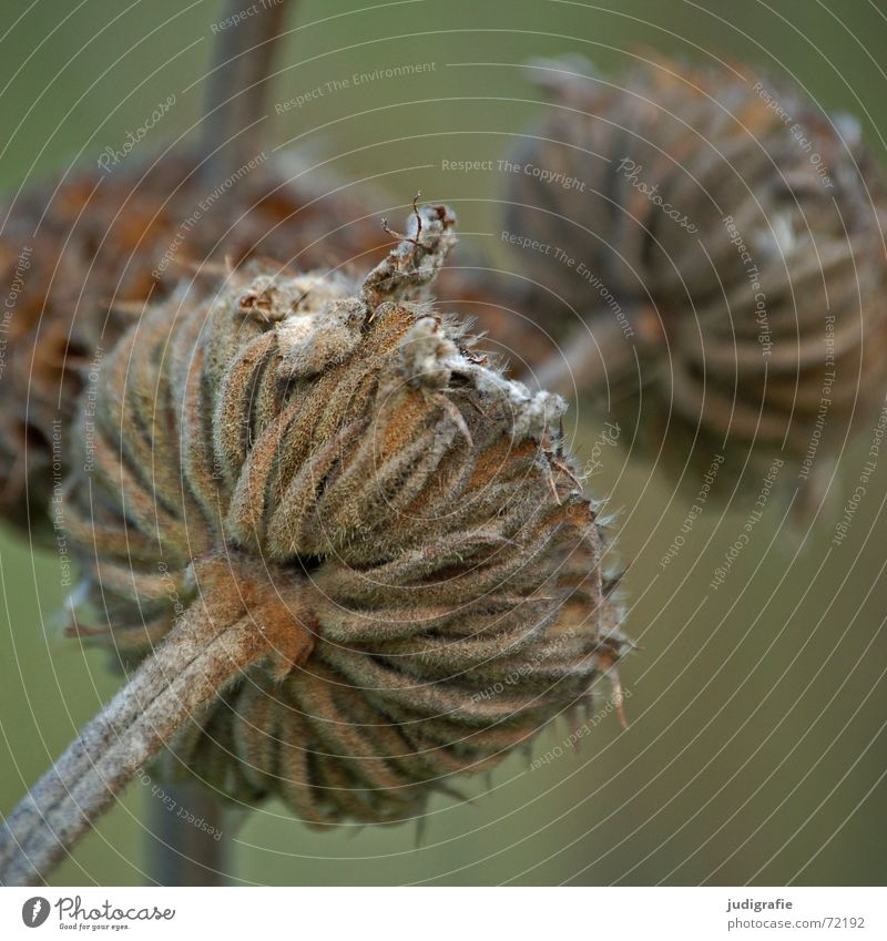 Vertrocknet Blüte Pflanze Herbst trocken Stengel Blume Knolle Vergänglichkeit getrocknet dünn Tod Natur Strukturen & Formen