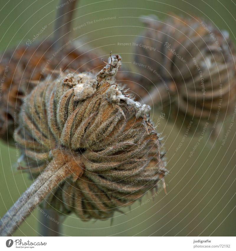 Vertrocknet Natur Blume Pflanze Herbst Tod Blüte dünn Vergänglichkeit Stengel trocken getrocknet Knolle