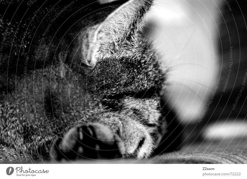 """Rocky"" The Tiger Hauskatze Pfote Katze schlagen Erholung aufeinander Fell Haustier Tier rocky cat chill liegen abflacken animal"