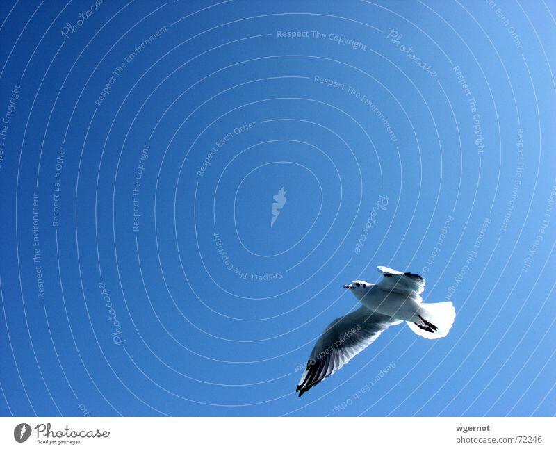 Freiheit Möwe Vogel frei Himmel Luftverkehr blau fliegen