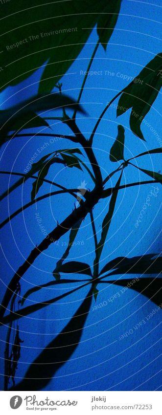 Nachtschattengewächs Natur grün dunkel planen Momentaufnahme Zimmerpflanze
