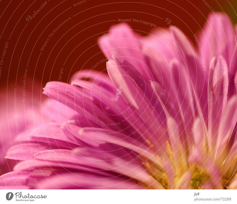 blümschen no.2 Blume Blüte rosa schön Pflanze nah gelb Makroaufnahme Nahaufnahme Detailaufnahme