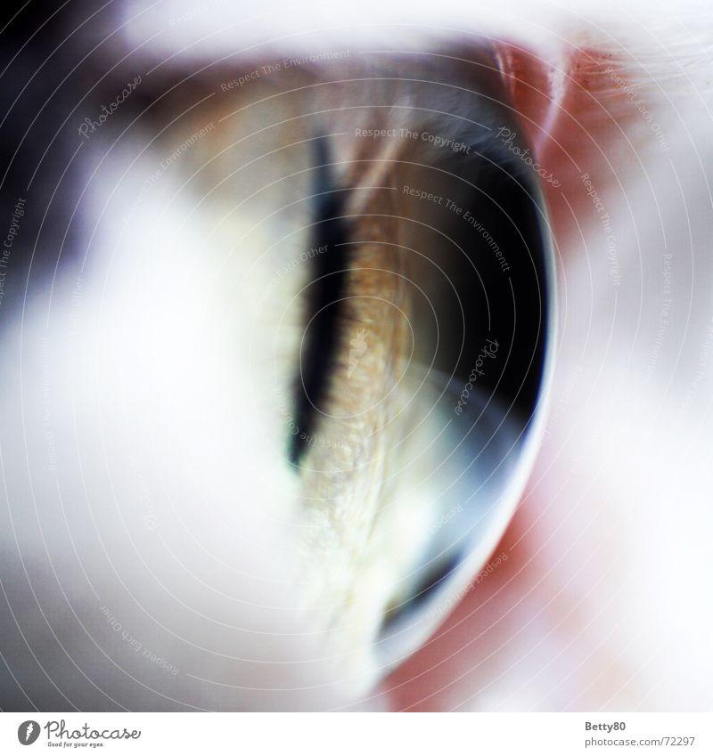 Katzenauge Pupille Säugetier Makroaufnahme Nahaufnahme Linse Detailaufnahme