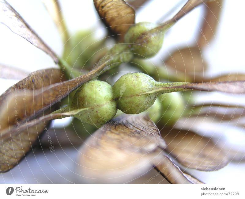 Windstille fliegen entstehen Ahorn Baum ruhig Pflanze Entwicklung zart leicht Naturphänomene zierlich sensibel Naturgesetz Saatgut edel zerbrechlich