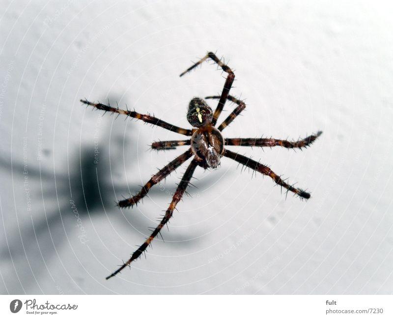 Spinne Insekt Keller Tier gefährlich Panik Spinnennetz Makroaufnahme Luftverkehr Beine Haare & Frisuren Schatten Natur Bewegung Nahaufnahme spider fliegen