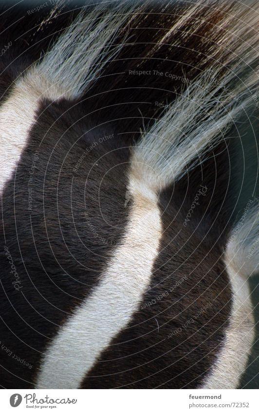 Fussgängerübergang Zebra Zebrastreifen Tier Zoo Steppe Savanne Afrika Zirkus Streifen Muster Säugetier Mähne schwarz weiß Landraubtier gefährlich Striptease