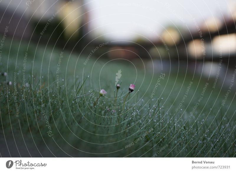 Ostersonntag Natur Pflanze Blume Gras nass grau grün orange Gänseblümchen Rasen Tau Wassertropfen frisch Unschärfe entfalten Farbfoto Außenaufnahme Menschenleer