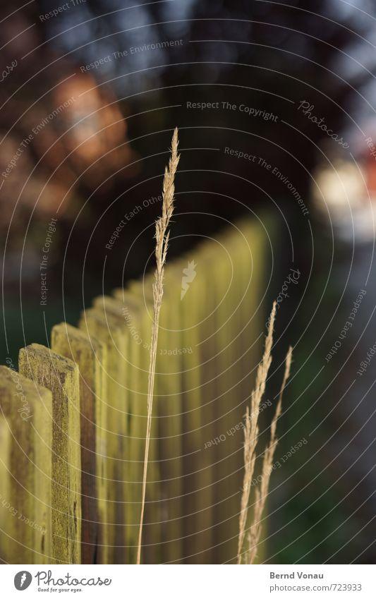 zaungast Pflanze Gras Straße blau braun grün schwarz einzeln Zaun alt Dorf Wegrand Wachstum Hoffnung Halm Holz verwittert Perspektive Kontrast aufstrebend