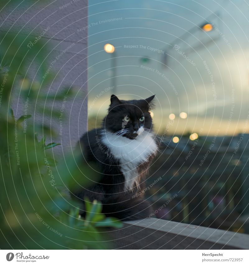 Dämmerungs(in)aktiv Katze Himmel Stadt schön ruhig Wolken Tier schwarz Wand Mauer Kraft sitzen warten beobachten Fell Straßenbeleuchtung