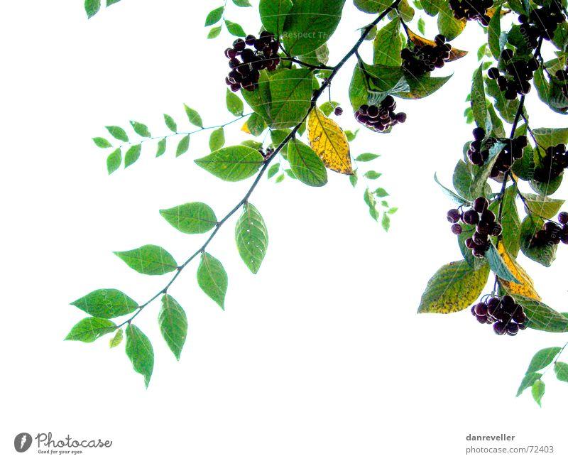 Unerwartete Früchte I weiß Baum grün Sommer Blatt Blüte hell Frucht Sträucher Dekoration & Verzierung Ast Freundlichkeit reif Beeren Hecke Ornament