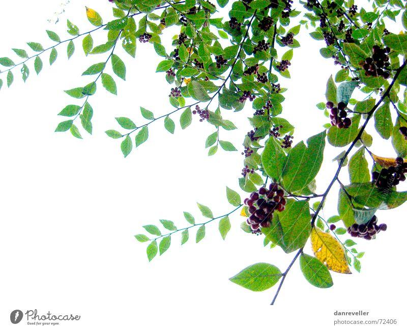 Unerwartete Früchte II weiß Baum grün Sommer Blatt Blüte hell Frucht Sträucher Dekoration & Verzierung Ast Freundlichkeit reif Beeren Hecke Ornament