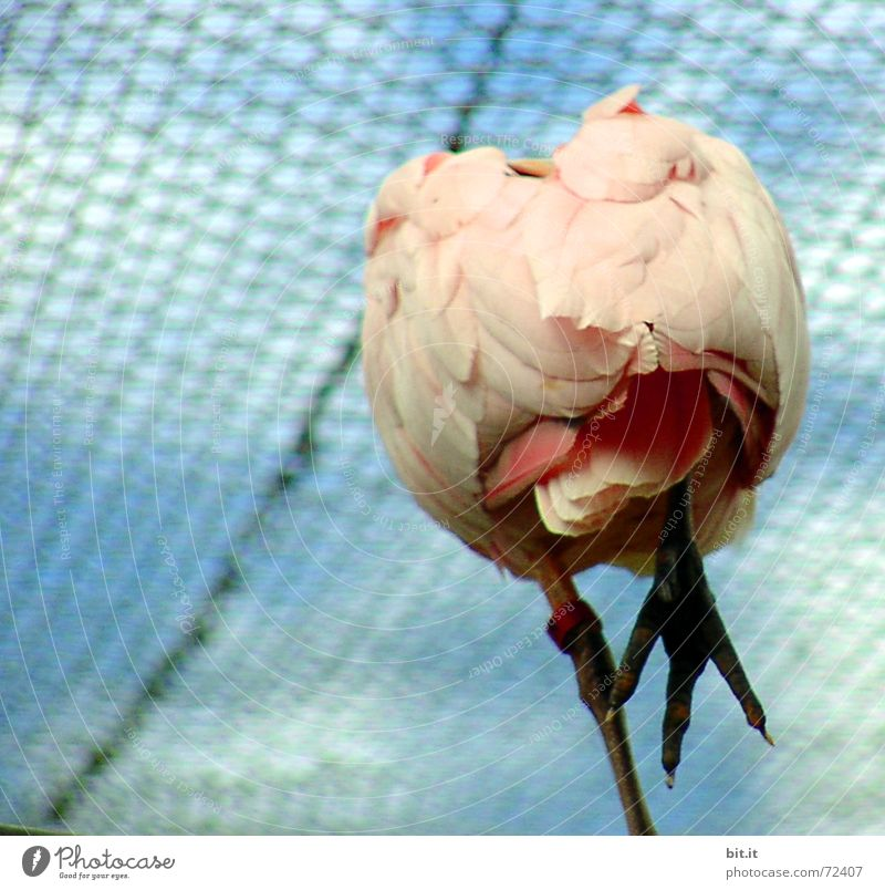 schräger Vogel Zoo Tier Himmel Wolken stehen oben rosa Lebensfreude standhaft Perspektive Gehege Tiergarten Käfig Gleichgewicht Feder Krallen Rückansicht
