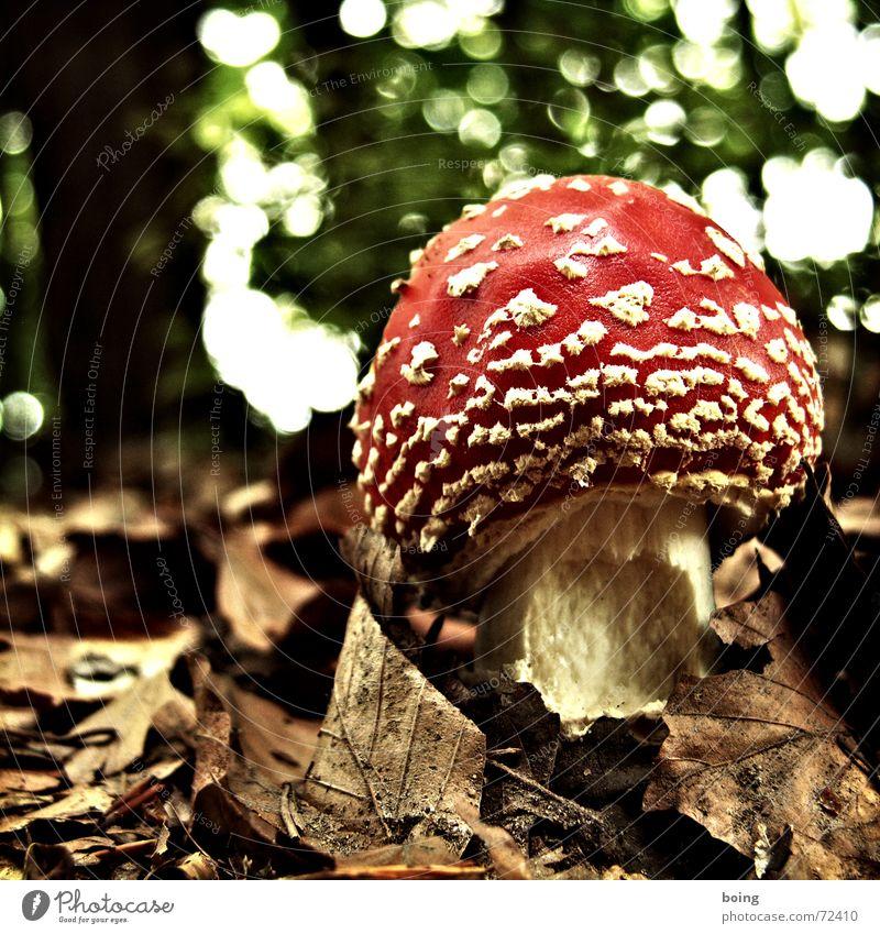 die Tropfen des Herbstes angefressen Illusion Rauschmittel Medizinmann Japan betäuben alt Wäldchen Hexe Pilz Wald Märchen Blatt Gift Signal rot Warnsignal