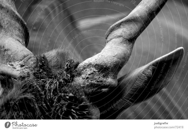 Der Gehörnte weiß schwarz Tier Haare & Frisuren dreckig Ohr Fell drehen Horn Säugetier Schlamm Bulle gedreht Antilopen Elenantilope