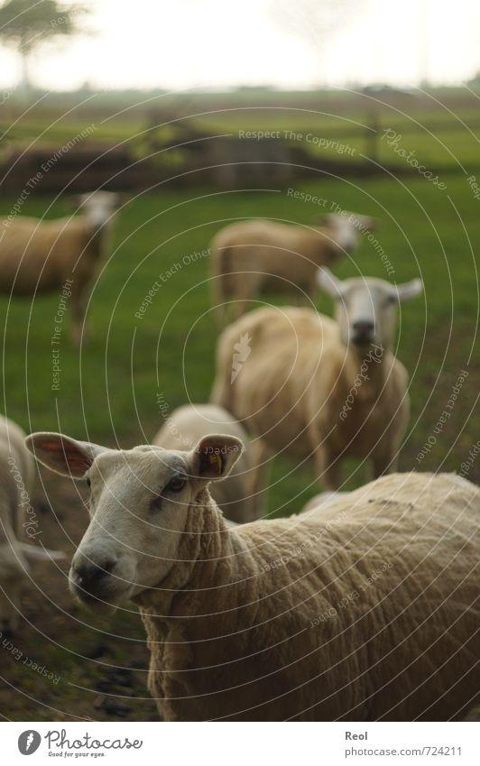 Was gucksts du? Umwelt Tier Himmel Frühling Gras Nutztier Tiergesicht Schaf Schafherde 4 Tiergruppe Herde Tierfamilie beobachten grün schwarz weiß Zufriedenheit