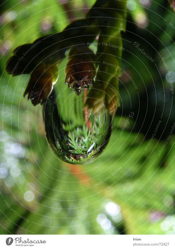 Tau Wasser Baum grün Frühling Wassertropfen Seil Tanne Zweig